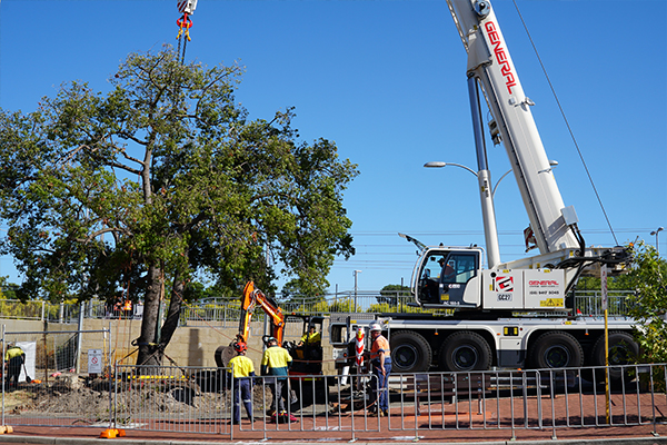 An 80-year old Kurrajong tree has been craned to the Bert Wright Park to clear the way for the Bayswater Station upgrade project, Perth.