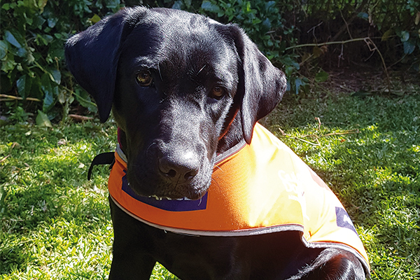 Despite the unwelcome interruptions caused by COVID, Tally and her Puppy Raiser Virginia have continued to work hard on training and Tally is on schedule with her development.